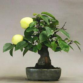 Bonsai Citrus Trees Are A Great Idea For Those Whose