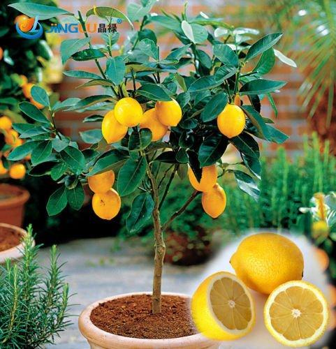 bonsai lemon tree